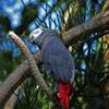Yaco en habitat natural