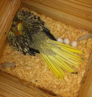 Ninfa en nido